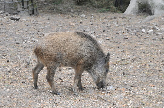 Small wild boar sniffing on the ground