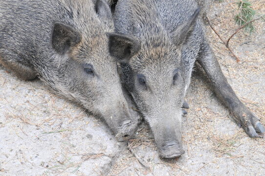 Two wild boar close up of heads