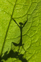 Praying Mantis Victory Dance