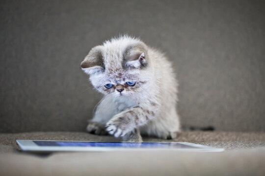 Kitten on ipad