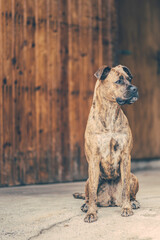 Beautiful brown dog sitting in front of wooden doors.