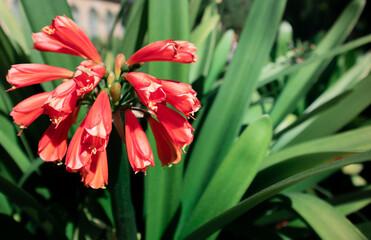 Obraz czerwony kwiat w kształcie dzwoneczka - fototapety do salonu