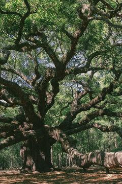 Angel Oak near Charleston