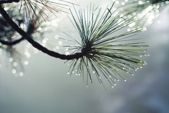 Pine tree filled with dropets as the sun rises