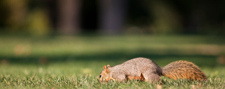 Eastern Fox Squirrel Searching For Food