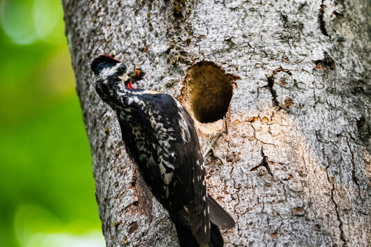 Yellow-bellied Sapsucker bringing food back to its nest to feed its young.