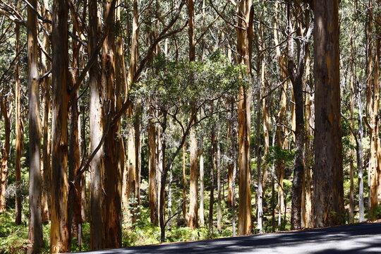Eucalyptus tree trunks in Margaret River, WA.