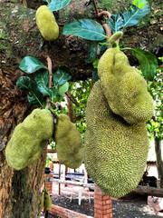 Some jackfruit in a tree on a farm.