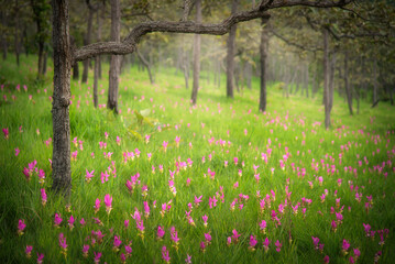 Siam tulip field (Dok Krachiew flower field) at Sai Thong National Park at Chaiyaphum in Thailand.