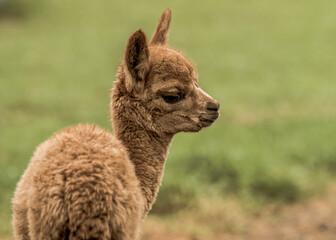 Closeup focus shot of a cute alpaca on a blurred background
