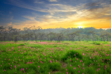 Siam tulip field (Dok Krachiew flower field) during sunrise time at Sai Thong National Park at Chaiyaphum in Thailand.
