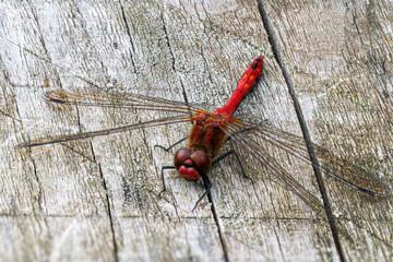Ruddy darter dragonfly, sympetrum sanguineum, resting on wooden bench in sunlight