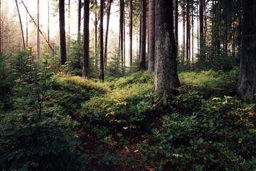 Natürlicher Wald im im Nationalpark Harz