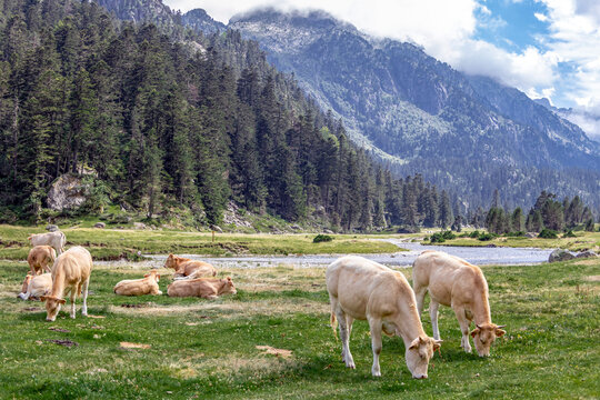 The Bearnaise French cow breed of domestic beef cattle on the pasture in high Pyrenees mountain landscape in France