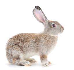 Gray rabbit isolated.
