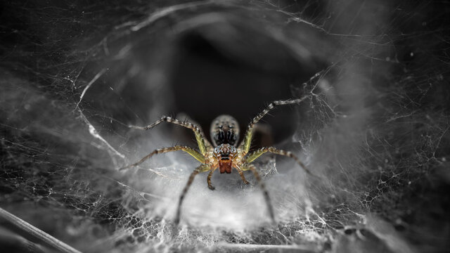 macro photo of a yellow spider on its web. slim and gracious arachnid but dreadful predator for phobics and insects stuck on its spider web, ruthless trap, somewhere in the tropical jungle of Thailand