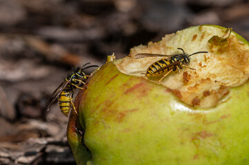 Early spring, wasps collect protein rich foods such as insects to feed larvae in the nest. Late summer, larvae numbers decline and so wasps become interested in sweet food for themselves.
