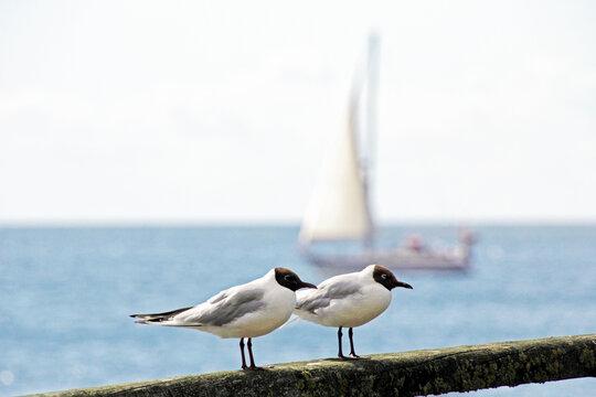 Zwei Möwen mit Segelboot im Hintergrund