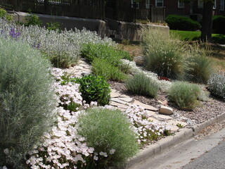 xeriscape garden with silver foliage and white flowers:  rubber rabbitbrush, lambsears, snow in summer, evening primrose, blue oat grass.