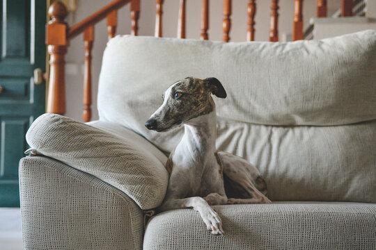 Whippet blanco y atigrado, tumbado encima de un sofá