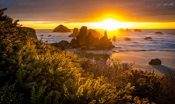 Sunset at Bandon Beach with yellow gorse flowers in foreground.