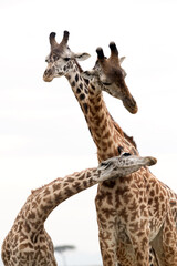Wall Mural - Giraffes showing courtship at Masai Mara