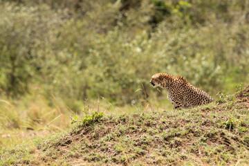 Wall Mural - Cheetah near a mound in Masai Mara Grassland