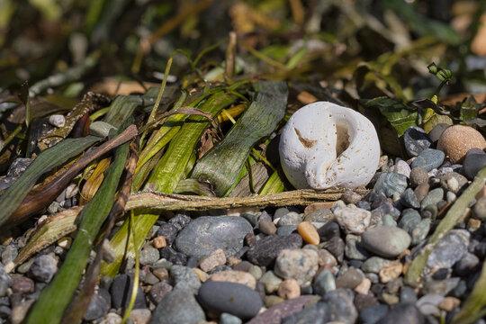 2020-09-01 A WEATHERED SEA SHELL SITTING AMONGST SEAWEED AND ROCKS ON SUNSET BEACH ON LUMMI ISLAND
