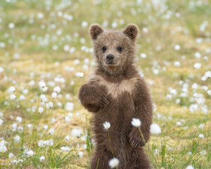 Brown bear cub (Ursus arctos) standing on its hind legs in the middle of the cotton grass on a Finnish bog