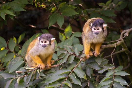 singes champrépus parc zoo zoologique, animaux nature, jardin