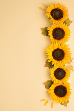 Beautiful fresh sunflowers with leaves on yellow background.