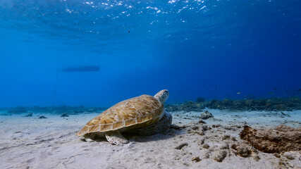 Green Sea Turtle rest in turquoise water of coral reef in Caribbean Sea / Curacao