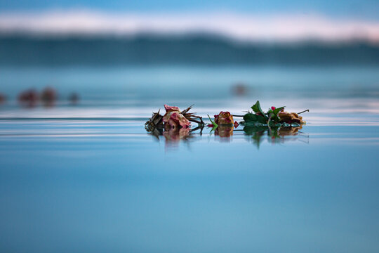 rosen im See