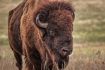 Buffalo, American Bison (Bison bison) on the prairie