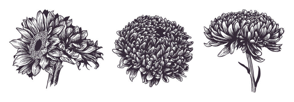 Vintage hand drawn flowers set isolated on white background. Sunflower and dahlia garden plants. Vector illustration. Ink sketch for wedding design