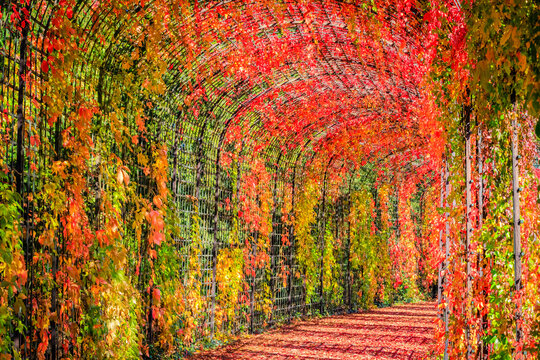 Autumn red leaves background, close up. Huge Tunnel  wall of Red leaves on Virginia creeper vine Parthenoci.
