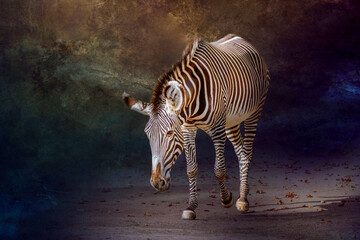 A zebra walking with a lowered head