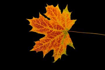 Jesienny liść klonu