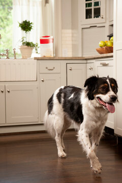 Low angle view of dog in kitchen in front of counter with treats