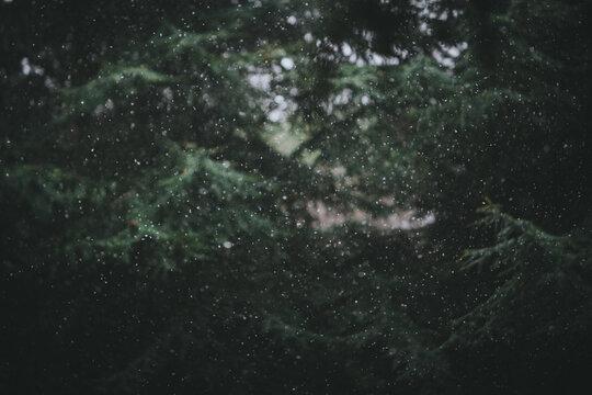 Snowfall on conifers