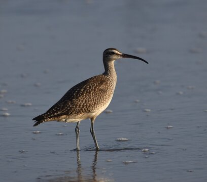 A whimbrel (Numenius phaeopus) stands amid the surf on Manresa State Beach, in Watsonville, California