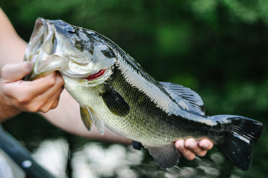 Holding largemouth bass fish by mouth caught on hook while fishing