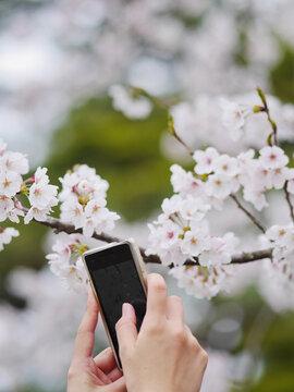 smartphone cherry blossom