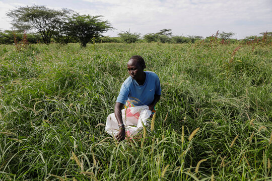 A woman harvests grass seeds in a field on the shore of lake Baringo