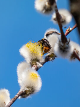 A beautiful macro picture of a Bumblebee extracting pollen from a blossoming pussy-willow in early spring. Bumblebee legs in pollen