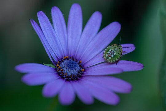 Ninfa di nezara viridula su fiore di viola