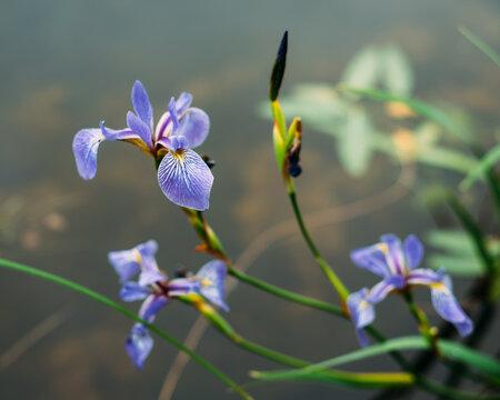 Native plant blue flag purple blooms lakeside in Minnesota