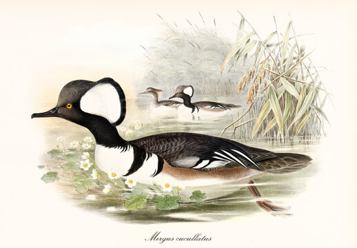 Multicolor plumaged duck looking bird Hooded Merganser (Lophodytes cucullatus) with its arched black beak swimming in the water of a pond. Detailed vintage art by John Gould publ. In London 1862-1873