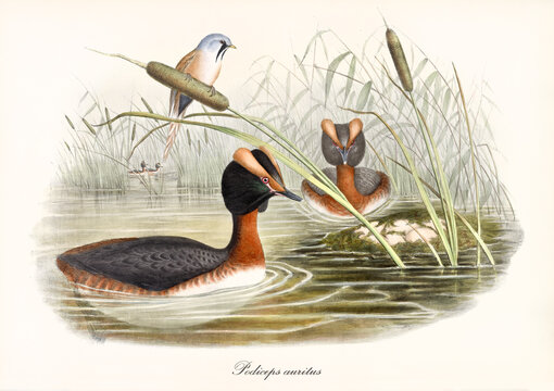 Two long necked aquatic birds with a strange head shape Horned Grebe (Podiceps auritus) in the green water of a pond surrounded by aquatic vegetation. Vintage art by John Gould London 1862-1873