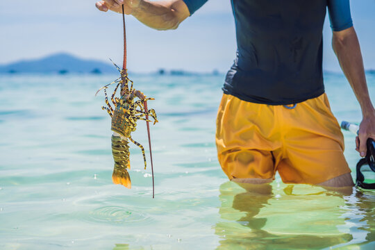 Lobster in the hands of a diver. Spiny lobster inhabits tropical and subtropical waters